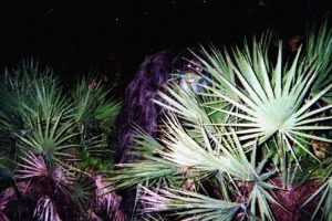 Skunk Ape Photo